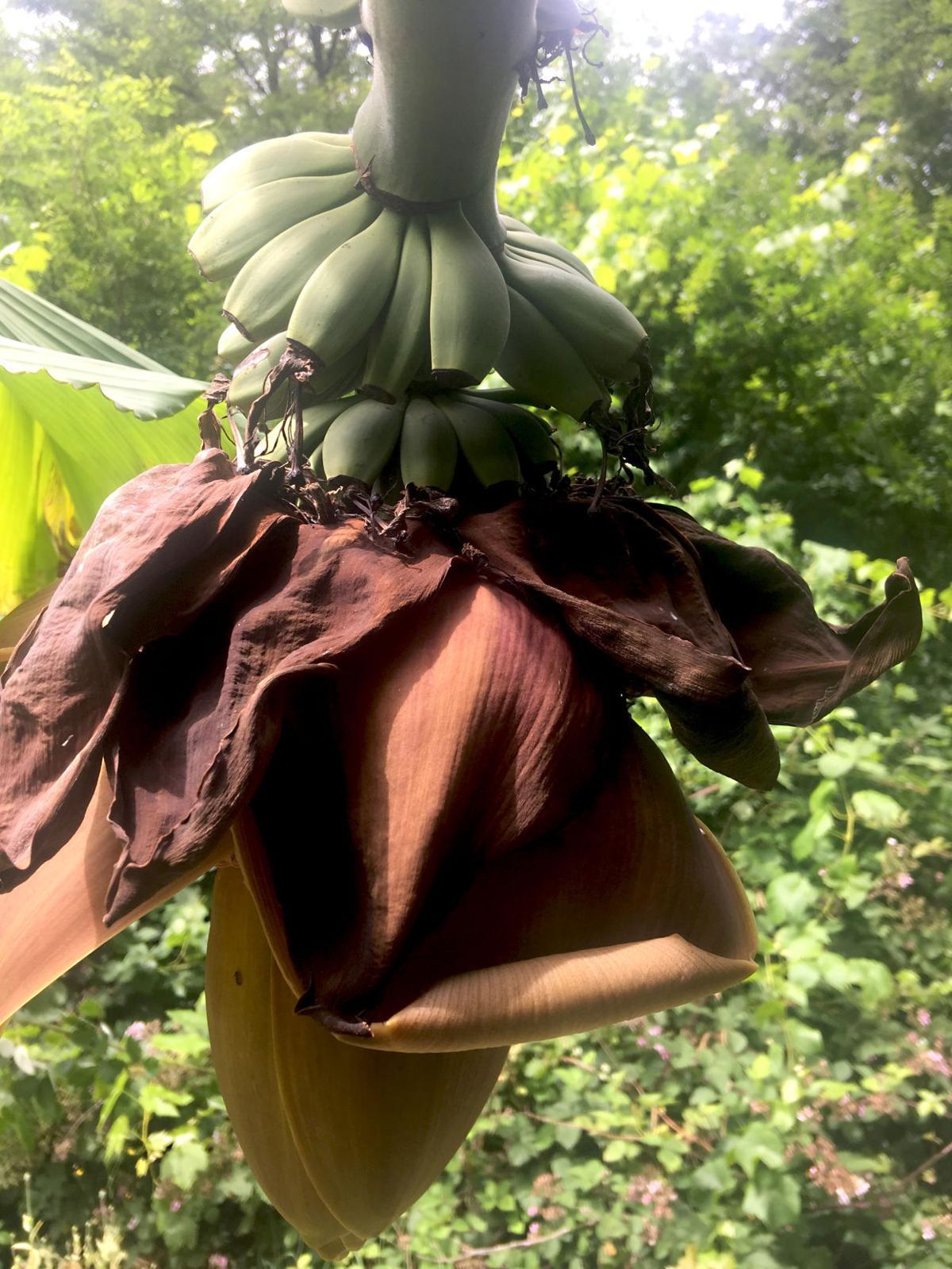 bananas in Greenacres