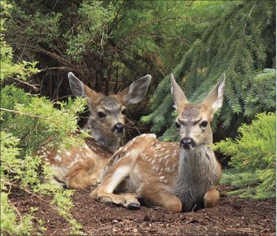 Twin mule deer fawns in Sunriver