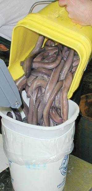 Fishermen hook overseas hagfish market
