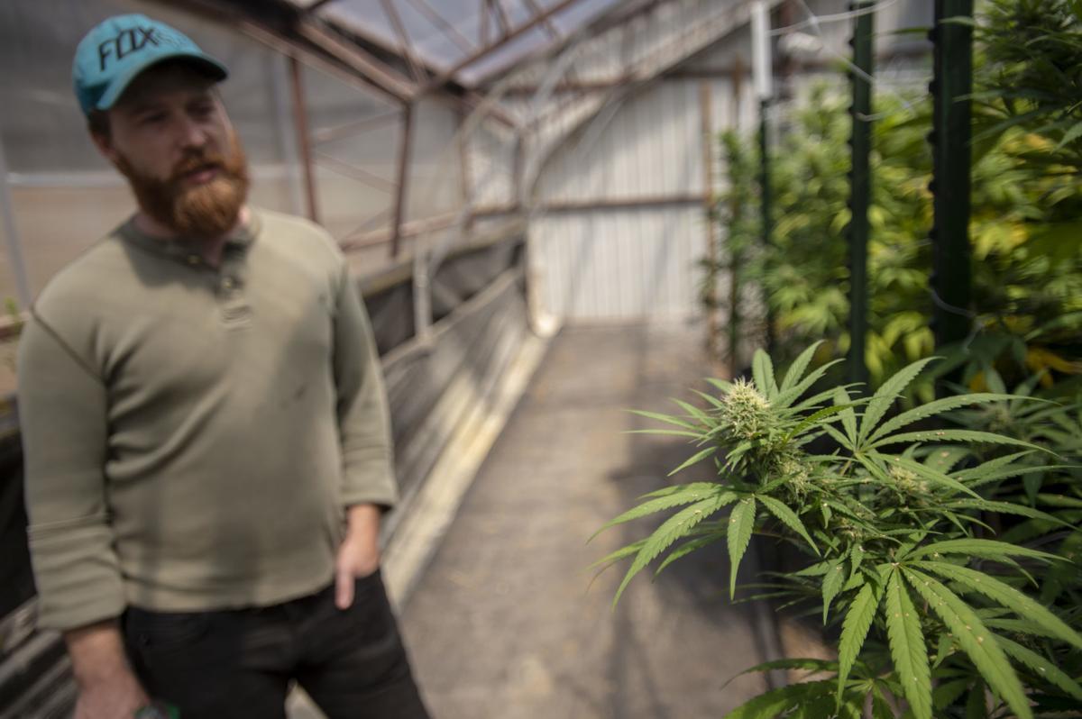 Cannabis glut