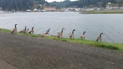 winchester bay canada geese
