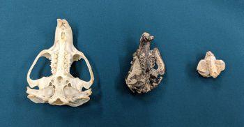 Mountain beaver skull changes over time