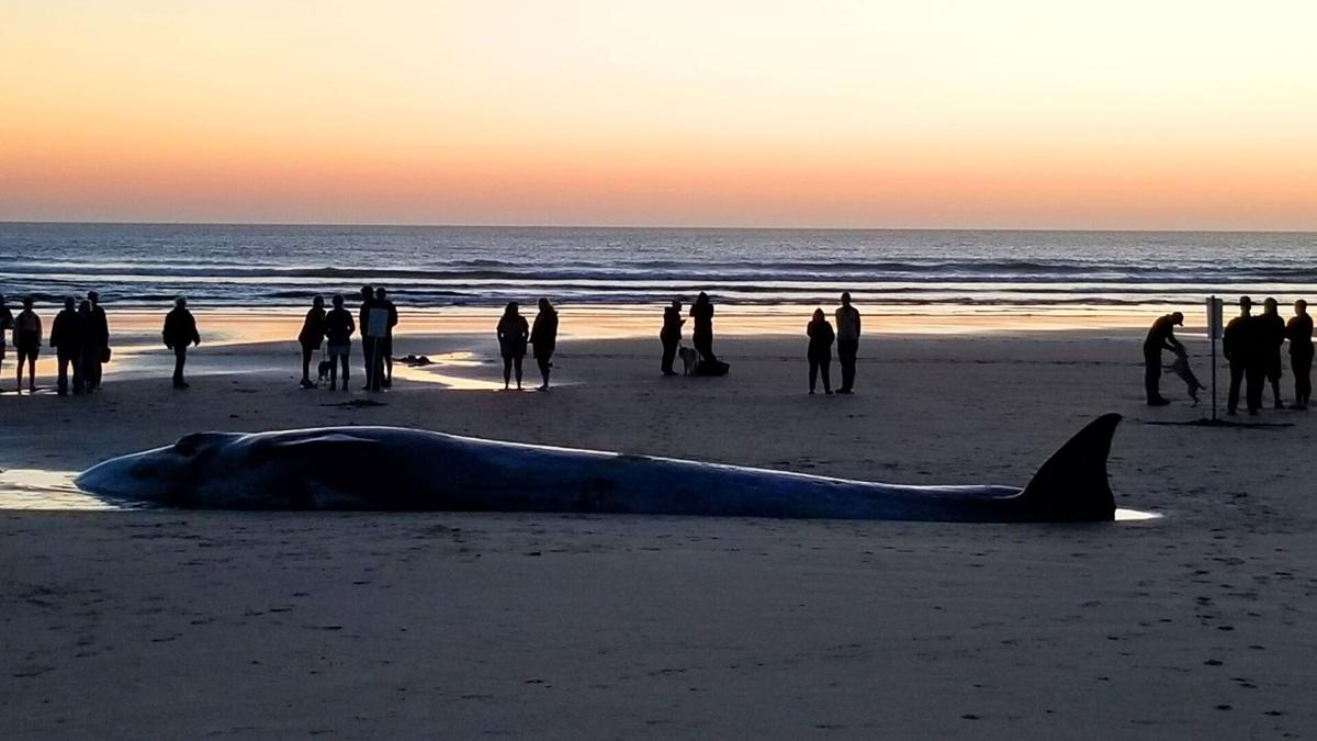 Beached whale in Bandon -1