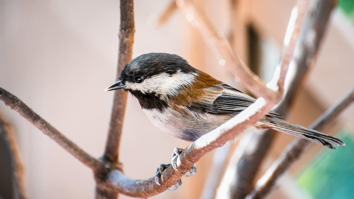 Close up of Chestnut backed Chickadee (Poecile rufescens) perched on a branch; blurred background, San Francisco bay area, California