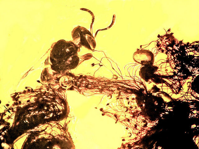 Stingless bee  in Dominican amber