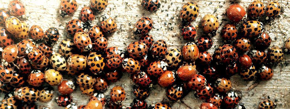 Lady Beetles