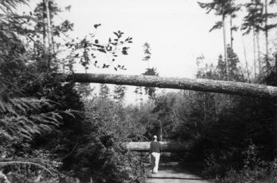 Cliff Thorn on Windhurst Road after the 1962 Columbus Day Storm