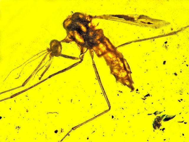 Cretaceous mosquito