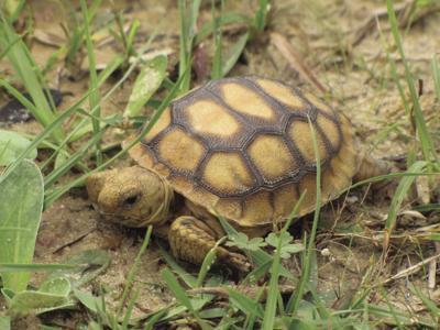 A baby gopher tortoise
