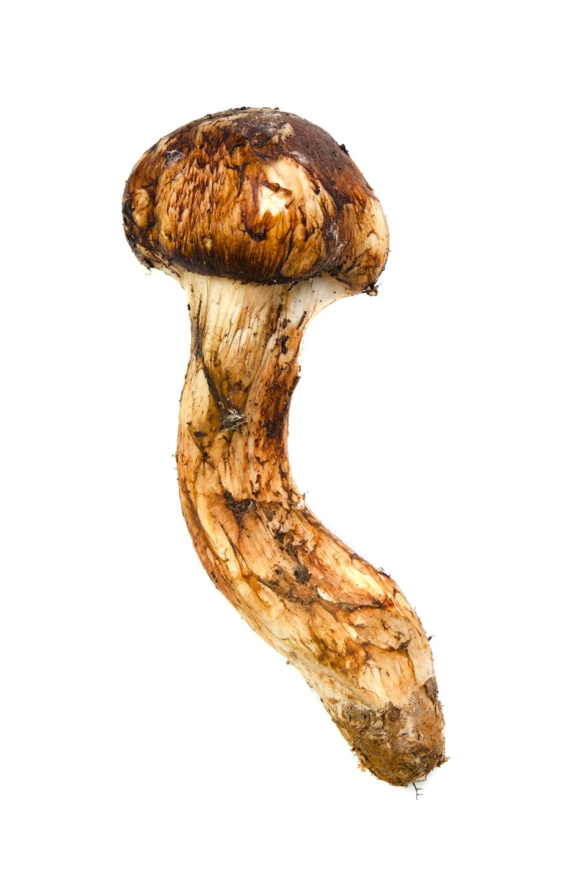 495671581Matsutake mushroom