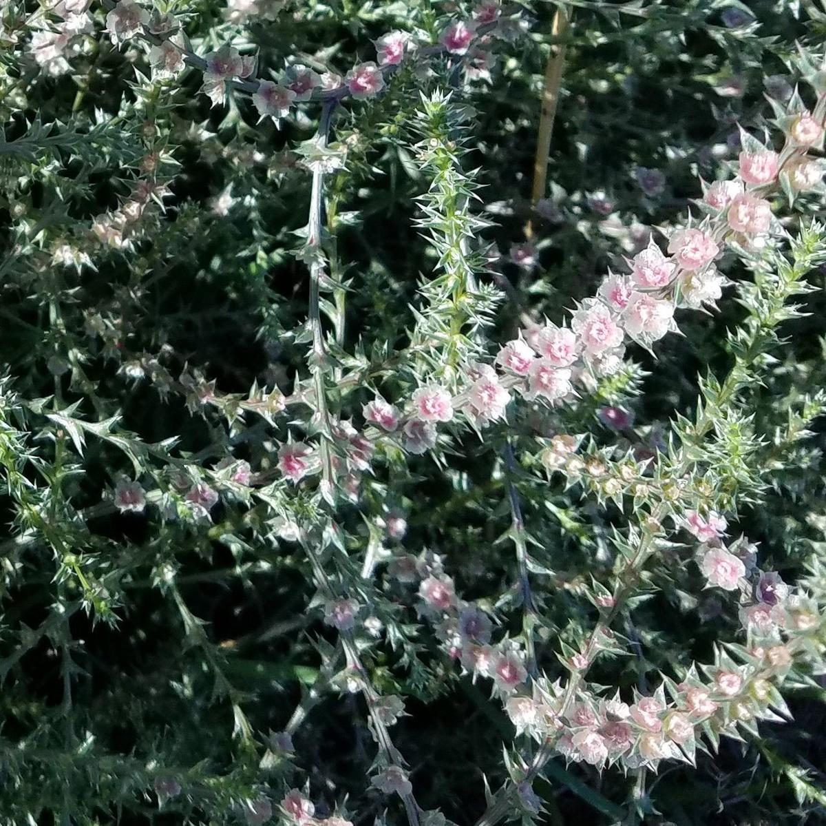 Russian thistle, tumbleweed