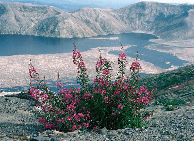 fire weed near st helens