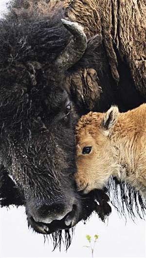 Ted Turner gets OK for Yellowstone bison on ranch