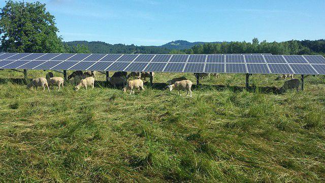 sheep under solar array