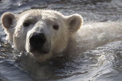 Nora the polar bear