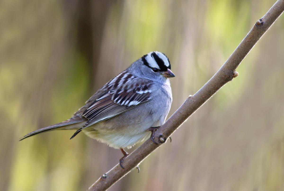 591826570 white-crowned sparrow
