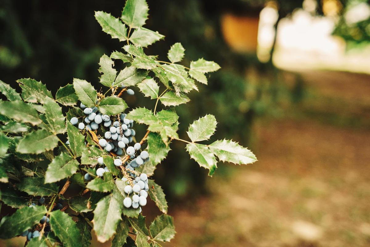 485322828 Oregon Grape