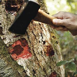 Sudden oak death