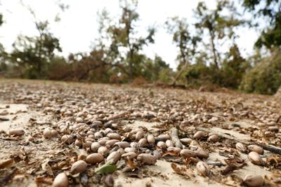Pecans lie on the ground beneath 20-year-old pecan trees that were uprooted when Hurricane Michael blew through Decatur County.