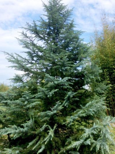 deodar cedars are among the trees that make excellent christmas trees that can later be added to the landscape when bringing an evergreen indoors - How Long Do Live Christmas Trees Last