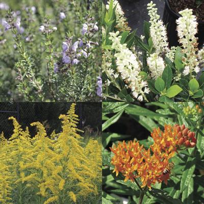 The first annual Georgia Pollinator Plants of the Year chosen by the State Botanical Garden of Georgia are (clockwise from top left) Conradina, also known as wild rosemary; Sweet Pepperbush; Butterfly Weed; and Downy Goldenrod.