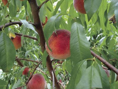 Georgia's peach crop is having a resurgence this year thanks to the lack of late freezes and sufficient chilling hours during the winter.