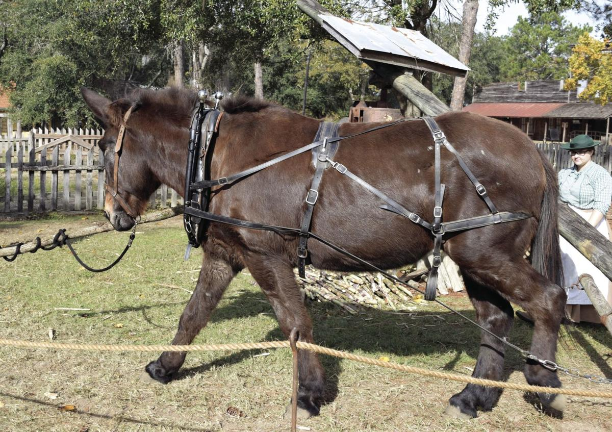 Junebug the mule works the cane press while Gina Beckman goads her on.