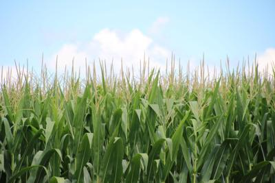A picture of a corn field from a few years ago. Recent rains have helped this year's corn crop, according to UGA Extension specialist Eric Prostko.