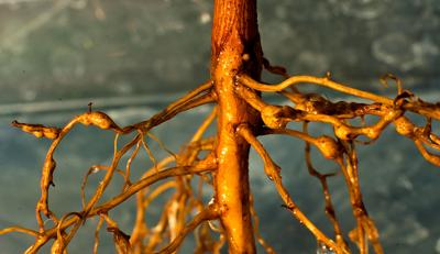 spring s warm temperatures could spark nematode activity news