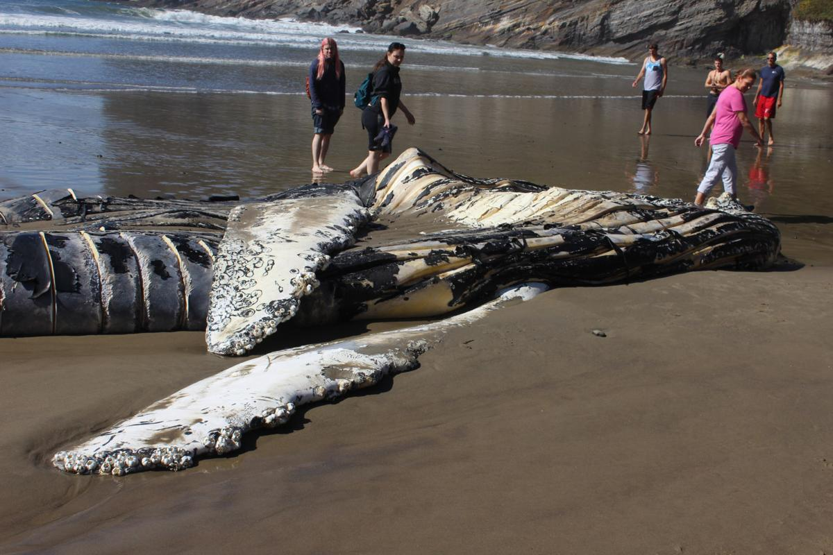 short sands u0027 newest resident dead humpback whale to act as winter
