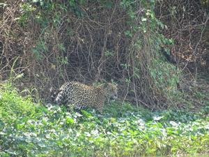 Study yields insights into the ecology of fishing jaguars, including rare social interactions