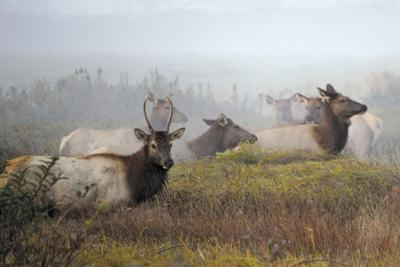 Photoof Week Tracy Sheets Tillamook Elk.jpg
