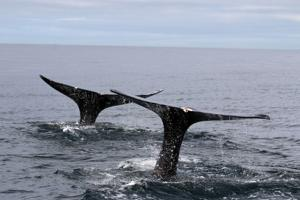Tracking gray whales and their poop off the Oregon Coast