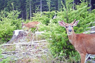 OSU Deer.tif