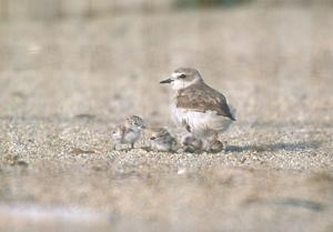 To protect threatened shorebird, share the beach March 15 - Sept. 15