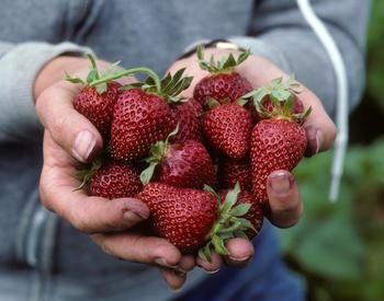 Strawberries wellness photo