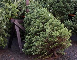 Invasive pest rides Christmas trees to West Coast