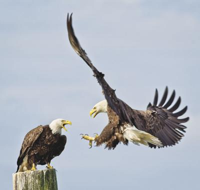 Bruce Bauder Bald Eagles at Garibaldi