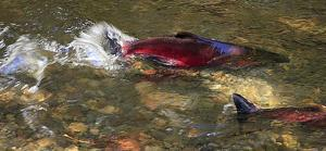 Genetic analysis reveals differences in mate choice between wild and hatchery coho salmon