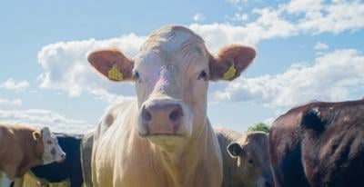 DeKalb leads state in cattle numbers