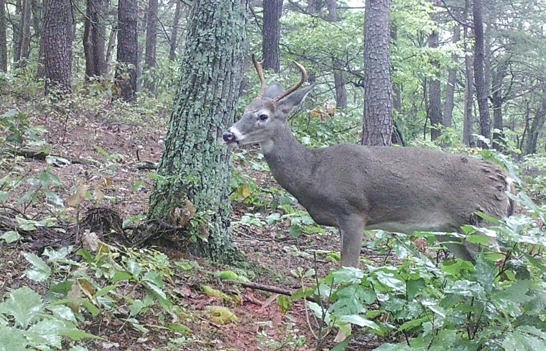 More Pennsylvania deer near Maryland confirmed with