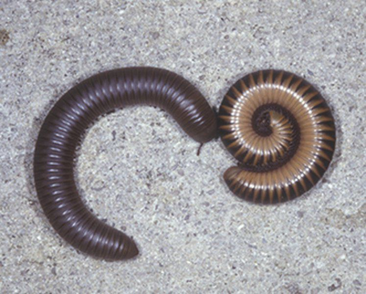 Millipede mayhem: It's that time of year, experts say
