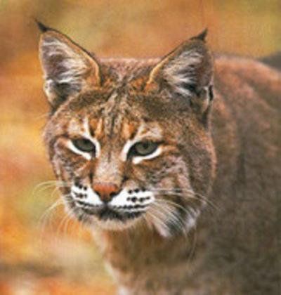 Bobcat population increasing in Western Maryland