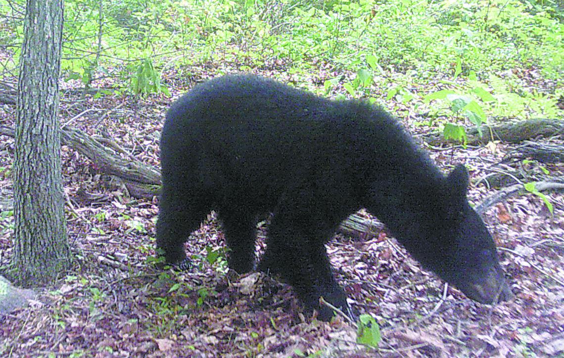 500 permits Bear hunters MdBear2015 successful