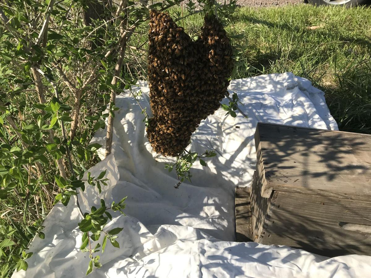 Ben Cooper's captured honeybee hive