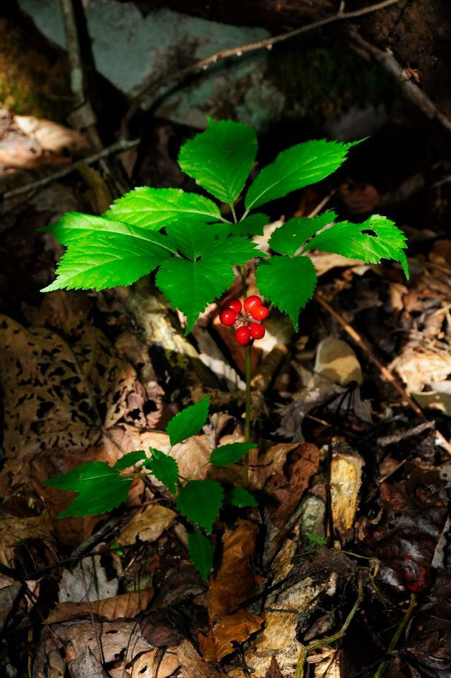Mammoth ginseng root dug in Allegany County possibly a world