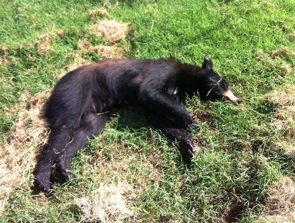 black bear breaks into car destroys interior news times. Black Bedroom Furniture Sets. Home Design Ideas