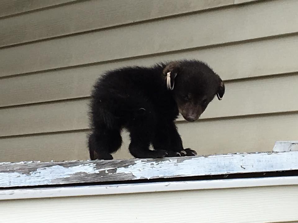 Lonaconing cub 4/4/17