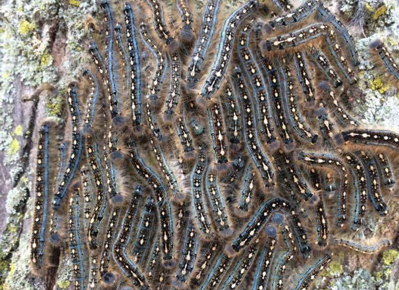 PITCHING A FIT: Experts warn of forest tent caterpillars