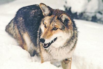Kill those coyotes, at your own possible peril